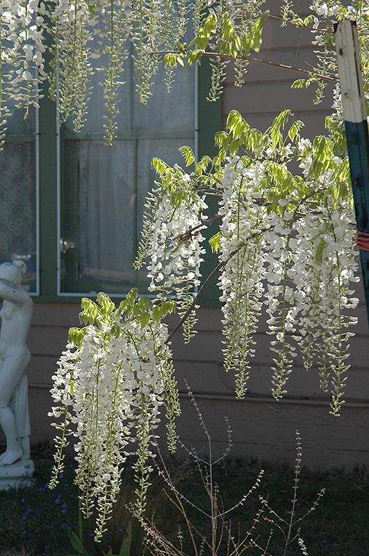 White Chinese Wisteria (Wisteria sinensis 'Alba') in ...