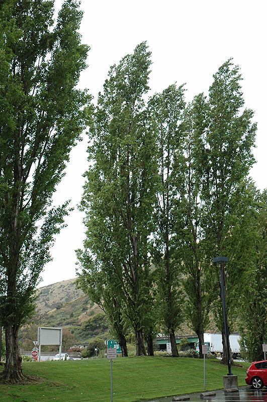 Lombardy Poplar Populus Nigra Italica In Issaquah