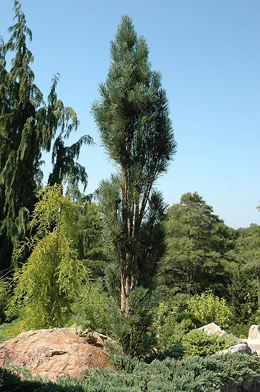 Blue Fastigiate Scotch Pine Pinus Sylvestris Glauca