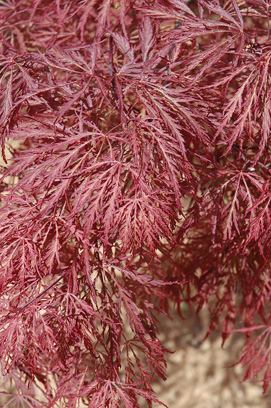 Ever Red Lace Leaf Japanese Maple Acer Palmatum Ever Red