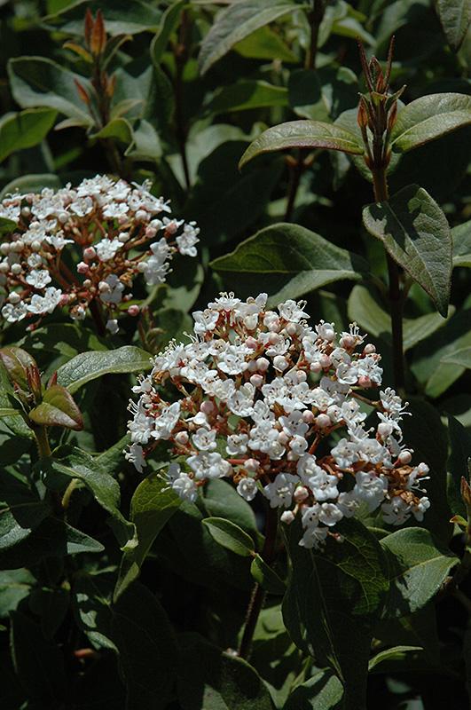 Spring Bouquet Viburnum Viburnum Tinus Spring Bouquet
