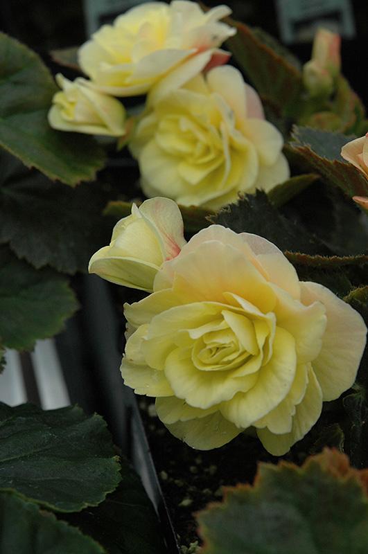 Solenia 174 Light Yellow Begonia Begonia Solenia Light