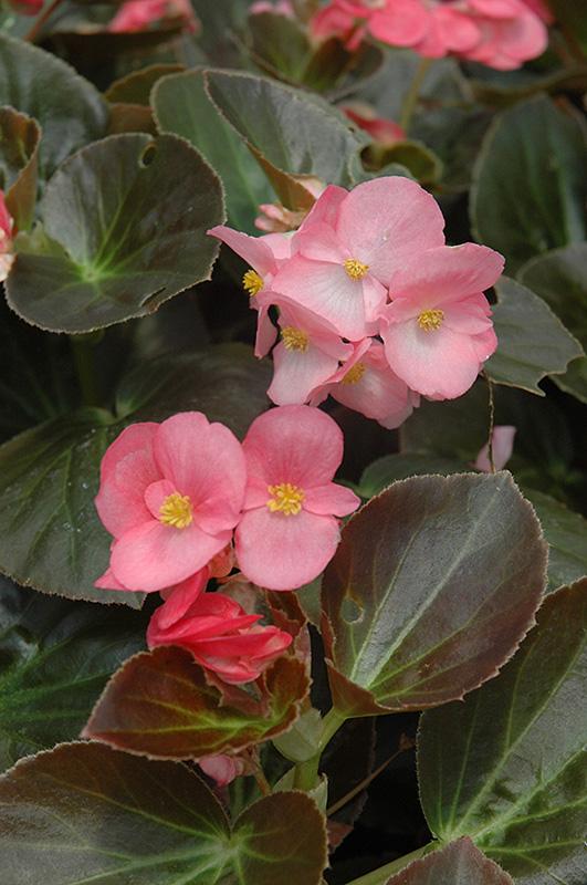 Big 174 Rose Bronze Leaf Begonia Begonia Big Rose Bronze