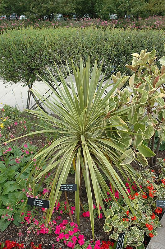 torbay dazzler grass palm  cordyline australis  u0026 39 torbay