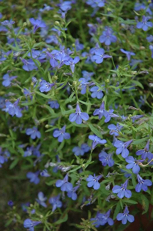Techno 174 Heat Electric Blue Lobelia Lobelia Erinus