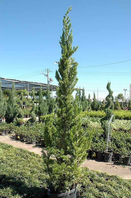 Ground Cover Plants Full Sun: Hollywood Juniper (Juniperus Chinensis 'Torulosa') In