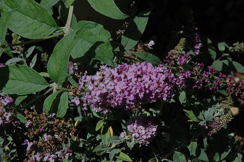 Lo And Behold 174 Lilac Chip Dwarf Butterfly Bush Buddleia