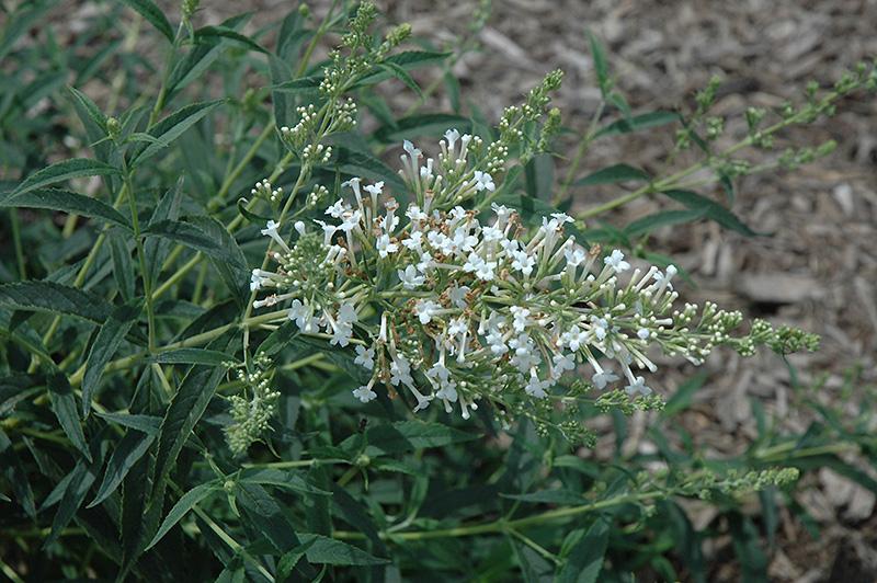 Flutterby Petite 174 Snow White Butterfly Bush Buddleia
