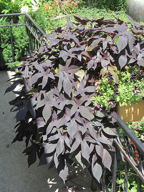 Blackie Sweet Potato Vine Ipomoea Batatas Blackie In