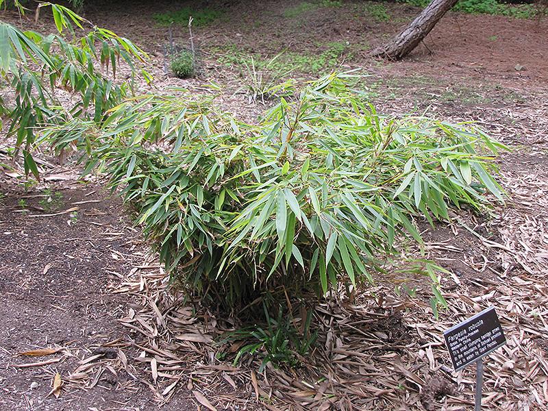 Clump Bamboo Fargesia Robusta At Squak Mountain Nursery