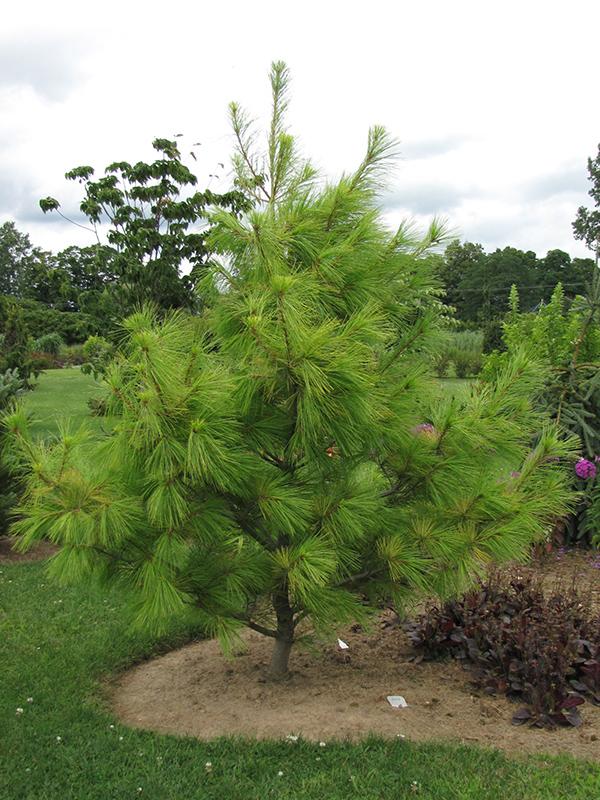 Louie Eastern White Pine Pinus Strobus Louie In