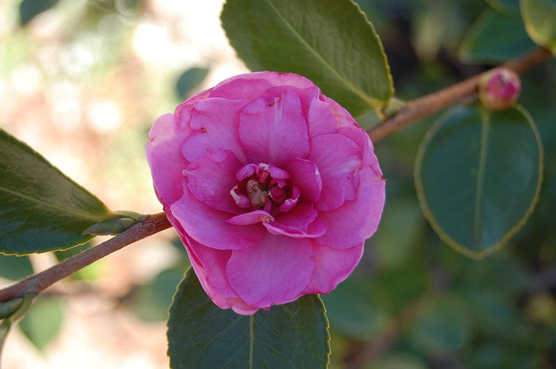Chansonette Camellia Camellia Sasanqua Chansonette In