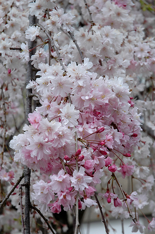 Double Pink Weeping Higan Cherry  Prunus Subhirtella