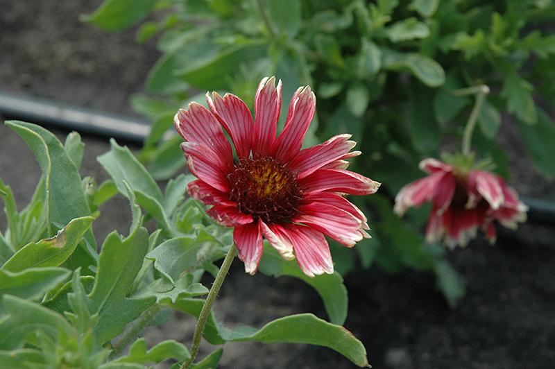 Punch Bowl Blanket Flower Gaillardia X Grandiflora Punch
