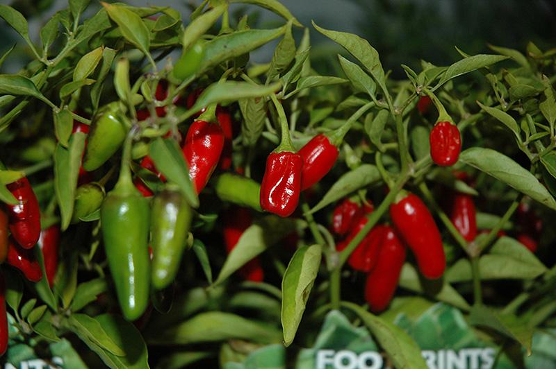 Apache Pepper Capsicum Annuum Apache In Issaquah