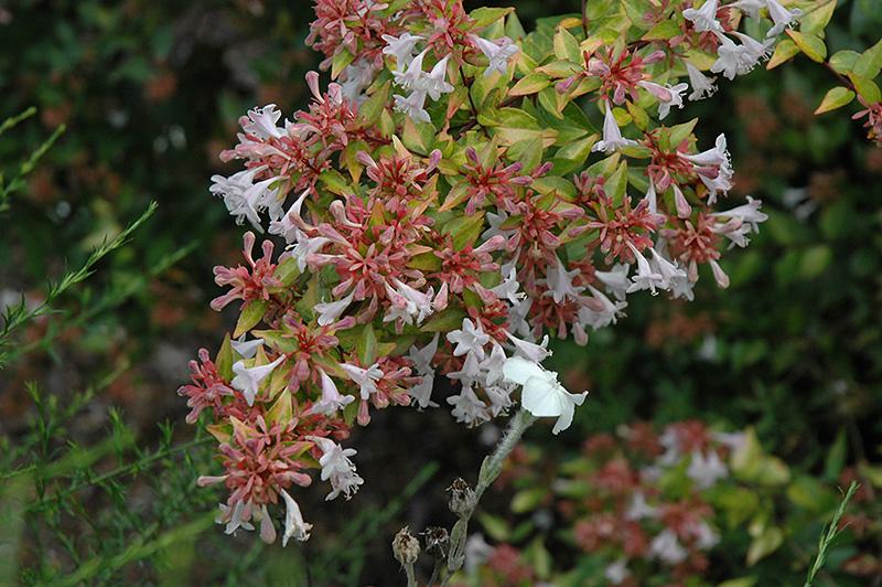 Francis Mason Abelia Abelia X Grandiflora Francis Mason