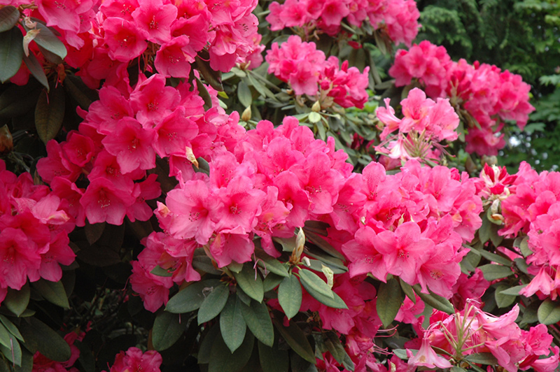 Anna Rose Whitney Rhododendron Rhododendron Anna Rose