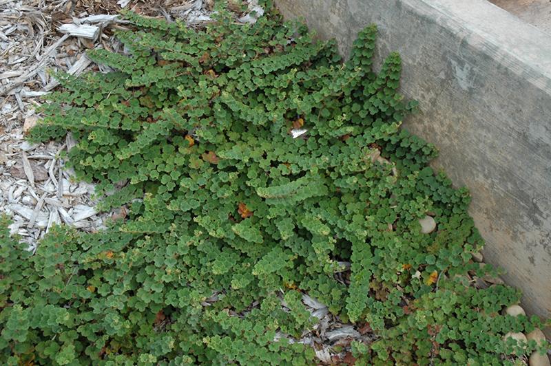 Emerald Carpet Raspberry Rubus Calycinoides Emerald