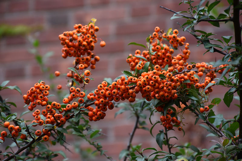 Scarlet Firethorn Pyracantha Coccinea In Issaquah