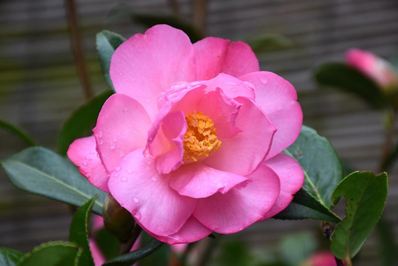 Taylor S Perfection Camellia Camellia X Williamsii