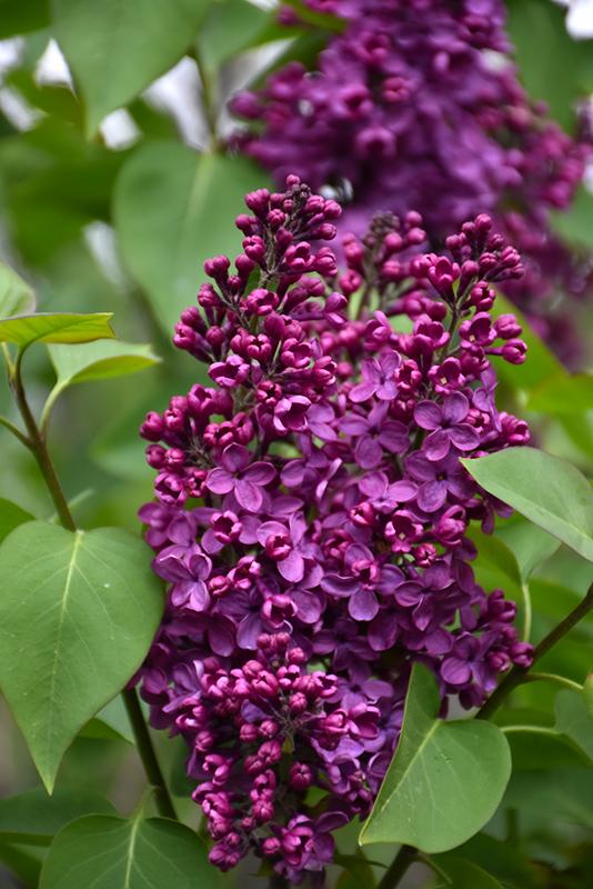 Ground Cover Plants Full Sun: Sarah Sands Lilac (Syringa Vulgaris 'Sarah Sands') In