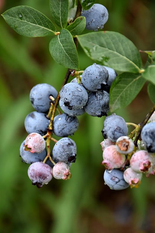 Legacy Blueberry Vaccinium Corymbosum Legacy In