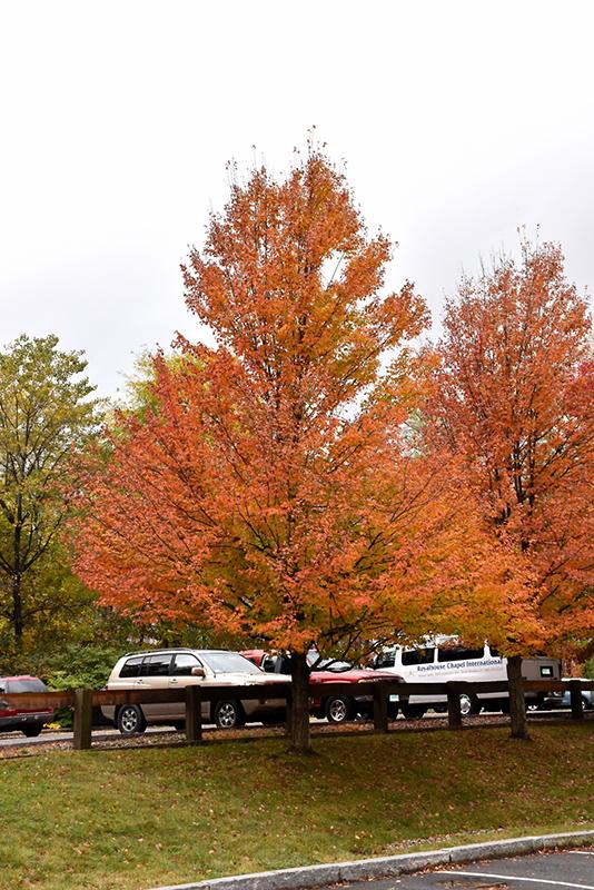 Karpick Red Maple Acer Rubrum Karpick In Issaquah