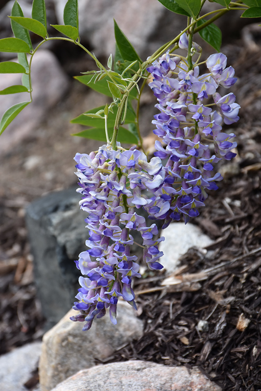 Blooming Ground Cover Full Sun: Blue Moon Wisteria (Wisteria Macrostachya 'Blue Moon') In