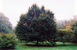European Hornbeam (Carpinus betulus) at Squak Mountain Nursery