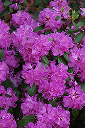 Compact P.J.M. Rhododendron (Rhododendron 'P.J.M. Compact') at Squak Mountain Nursery