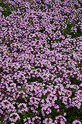 Red Creeping Thyme (Thymus praecox 'Coccineus') at Squak Mountain Nursery