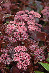 Xenox Stonecrop (Sedum 'Xenox') at Squak Mountain Nursery