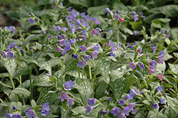 Majeste Lungwort (Pulmonaria 'Majeste') at Squak Mountain Nursery