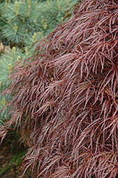 Red Select Cutleaf Japanese Maple (Acer palmatum 'Dissectum Red Select') at Squak Mountain Nursery