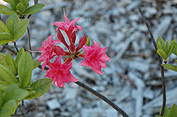 Homebush Azalea (Rhododendron 'Homebush') at Squak Mountain Nursery