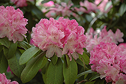 Holden Rhododendron (Rhododendron 'Holden') at Squak Mountain Nursery