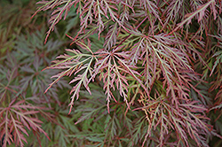 Orangeola Cutleaf Japanese Maple (Acer palmatum 'Orangeola') at Squak Mountain Nursery