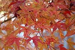 Butterfly Variegated Japanese Maple (Acer palmatum 'Butterfly') at Squak Mountain Nursery