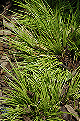 Grassy-Leaved Sweet Flag (Acorus gramineus 'Minimus Aureus') at Squak Mountain Nursery