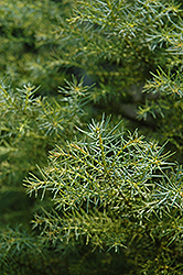 Golden Elegans Japanese Cedar (Cryptomeria japonica 'Elegans Aurea') at Squak Mountain Nursery