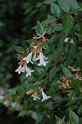 Edward Goucher Abelia (Abelia x grandiflora 'Edward Goucher') at Squak Mountain Nursery