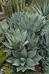 Parry's Agave (Agave parryi) at Squak Mountain Nursery