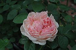St. Swithun Rose (Rosa 'St. Swithun') at Squak Mountain Nursery