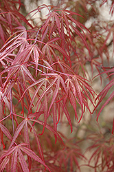 Ribbon-leaf Japanese Maple (Acer palmatum 'Atrolineare') at Squak Mountain Nursery
