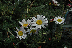 Silver Kisses Mount Atlas Daisy (Anacyclus pyrethrum 'Silberkissen') at Squak Mountain Nursery