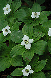 Bunchberry (Cornus canadensis) at Squak Mountain Nursery