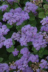 Blue Mink Flossflower (Ageratum 'Blue Mink') at Squak Mountain Nursery