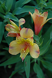 Ariane Alstroemeria (Alstroemeria 'Ariane') at Squak Mountain Nursery