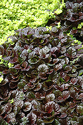 Black Scallop Bugleweed (Ajuga reptans 'Black Scallop') at Squak Mountain Nursery