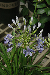 Midnight Blue Agapanthus (Agapanthus 'Midnight Blue') at Squak Mountain Nursery